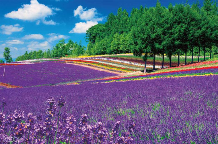 Furano's enchanting Lavender fields